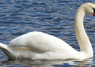 WHAT DO SWANS EAT